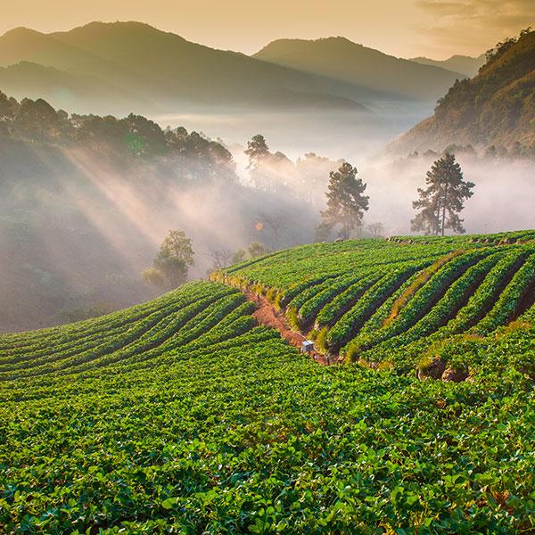 Campos de arroz comercio justo
